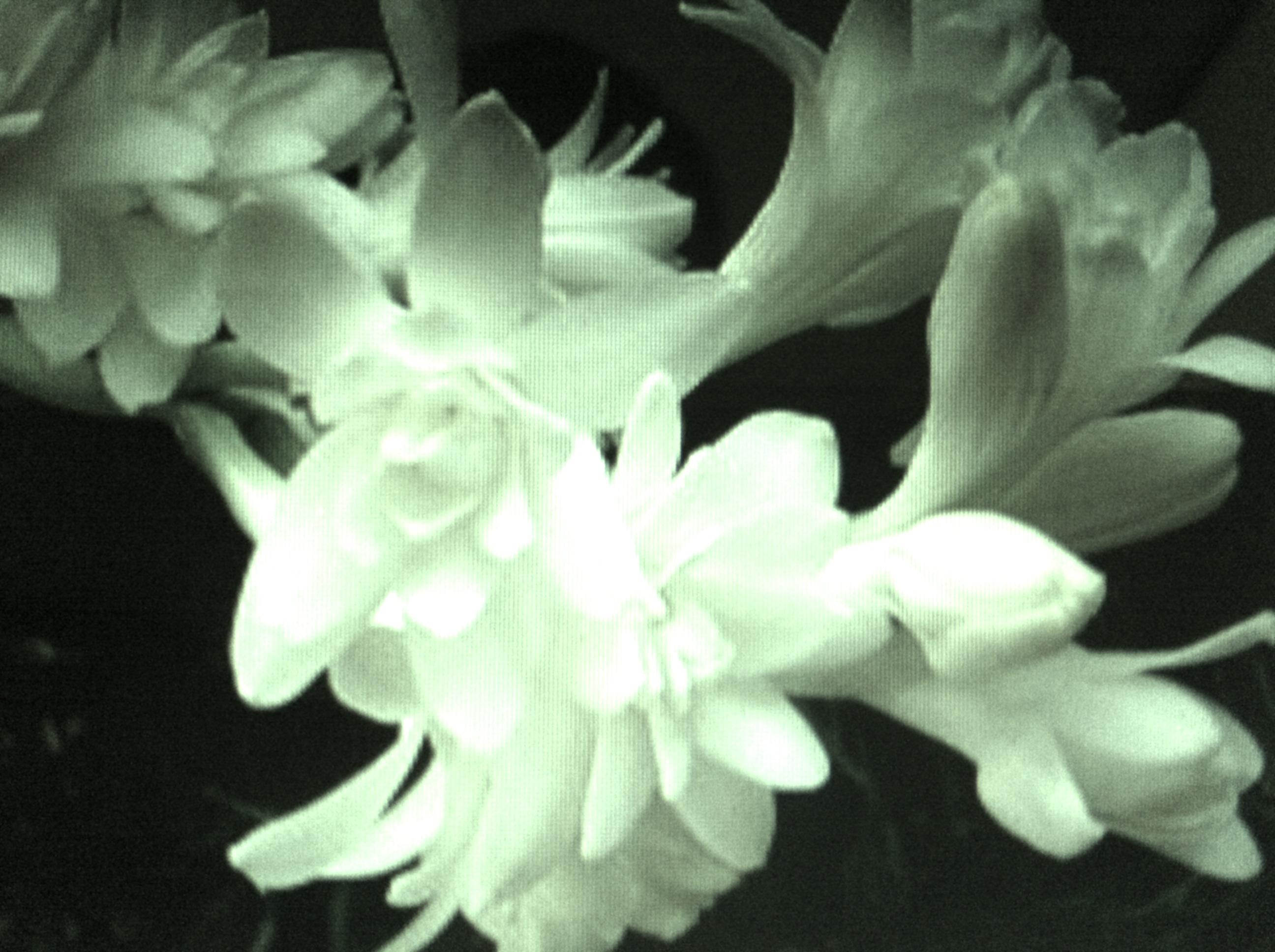 Six Tuberoses The Black Narcissus