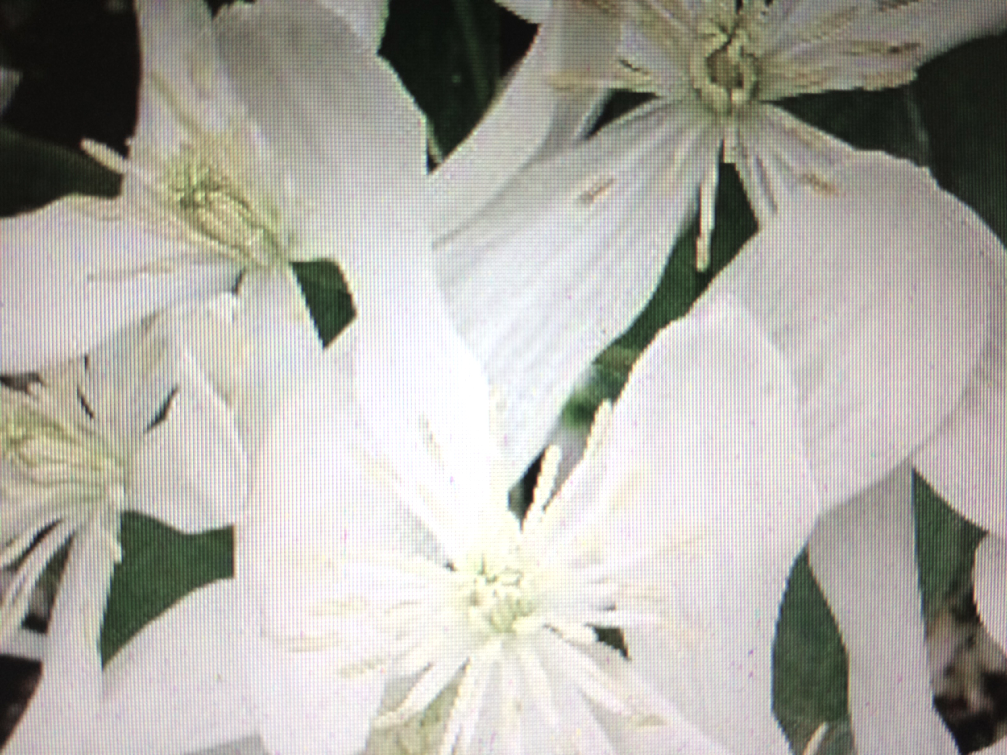 Perfume reviews the black narcissus image dhlflorist Images
