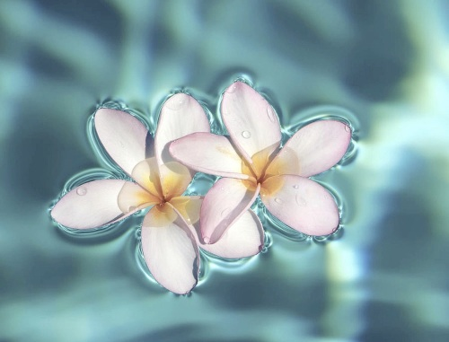 Floating White Plumeria Frangipani Exotic Tropical Flowers On Swimming Pool Water Desktop Background