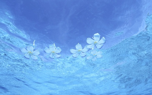 Plumeria Frangipani Floating On Clear Blue Aqua Lagoon Water Sea Ocean Desktop Background