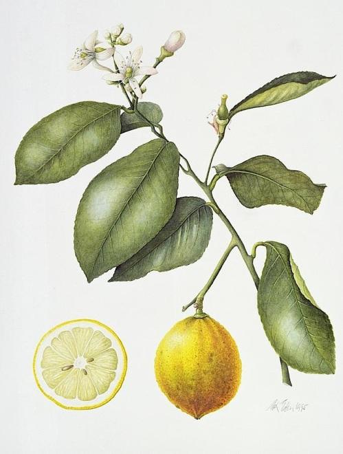 citrus-bergamot-margaret-ann-eden-