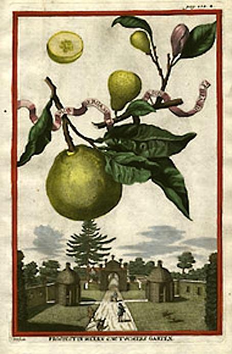 Volckamer's_Illustration_of_Bergamot_Fruit