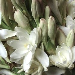 fresh-tuberose-sampangi-flowers-250x250