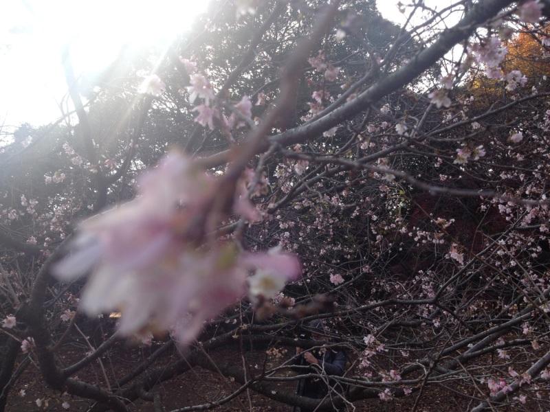 wintersakura_4232