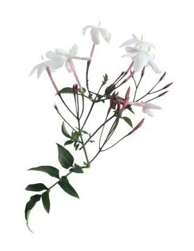 a change of season: : floris night scented jasmine (2006)