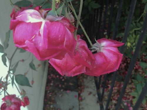 roseofthecemetery_5001