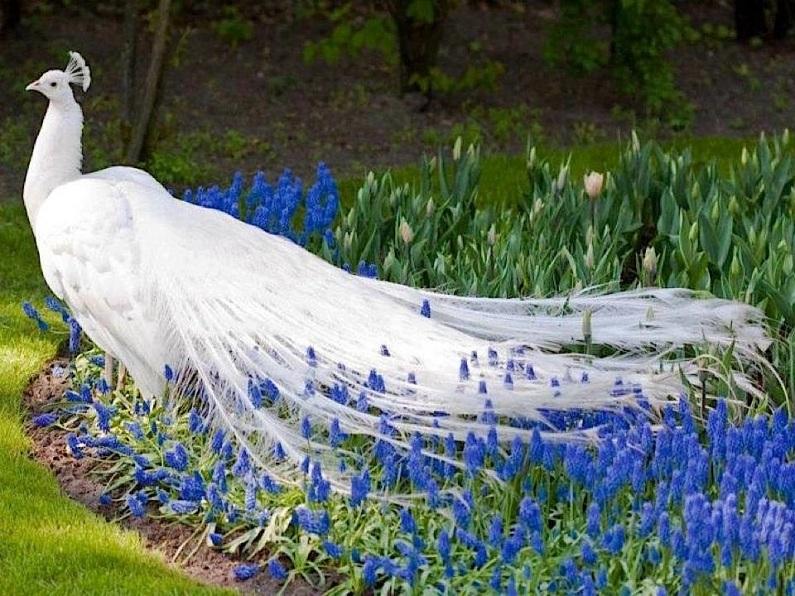 peacock_blue_flowers