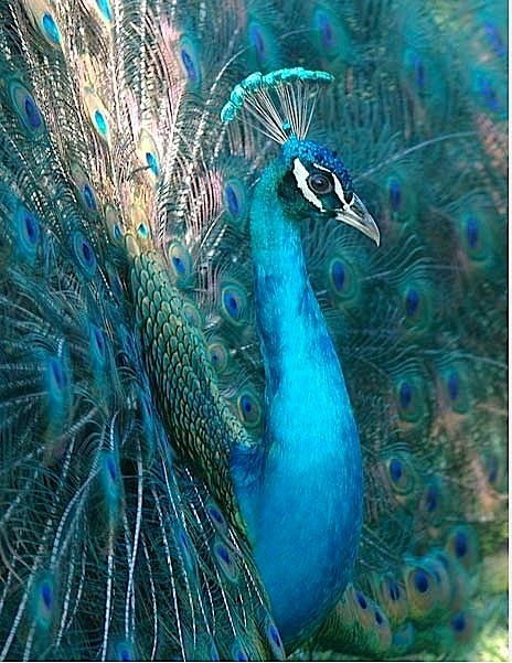 teal-blue-peacock-to-paint-w-perm
