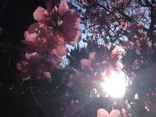 blossomsunset_5905