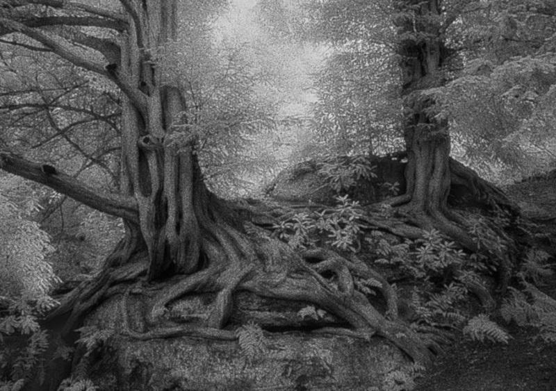 gnarled oaks
