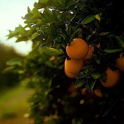 LE72_OrangeGrove