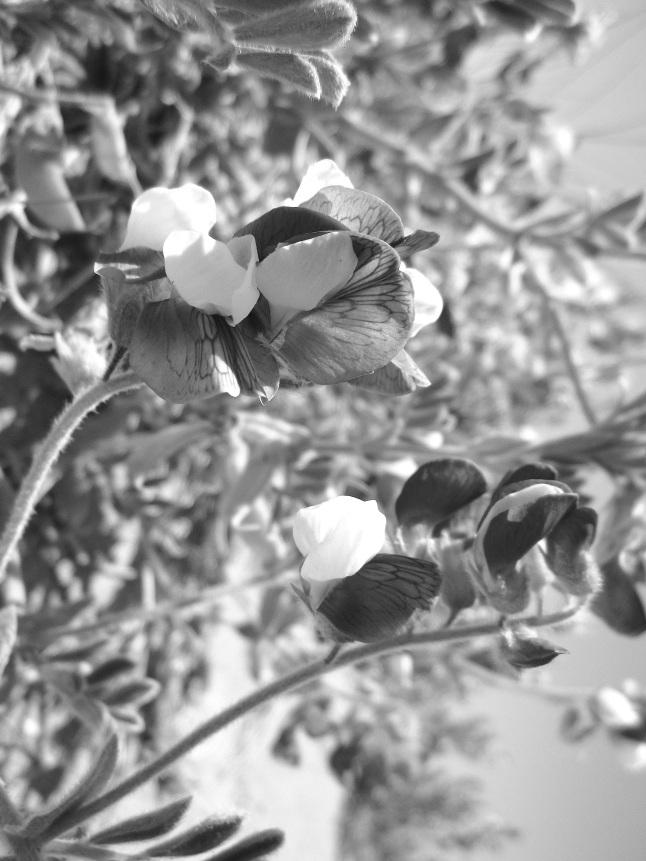 sand_dune_flower