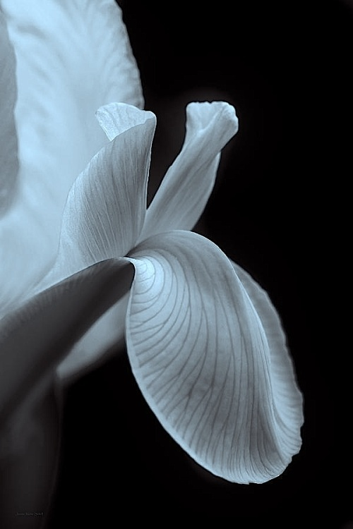 dutch-iris-flower-macro-black-and-white-jennie-marie-schell