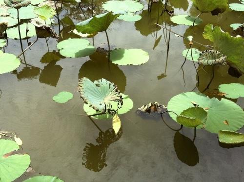 lotusleaves