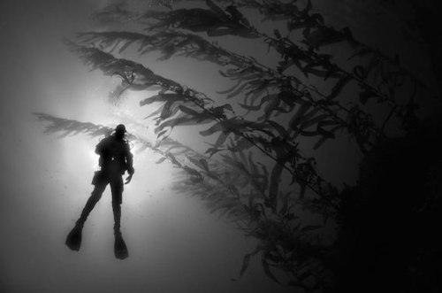 Diver-in-sun-with-kelp