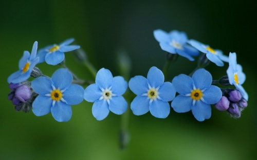 Forget-me-not-Flower-Wallpaper11-1