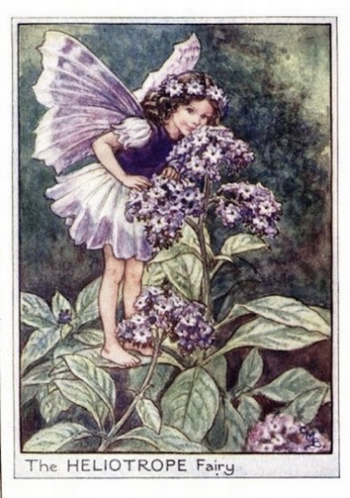 Heliotrope-Flower-Fairy
