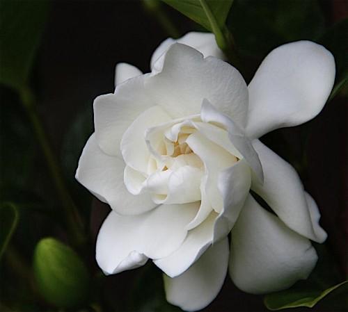 frost-proof-gardenia-1
