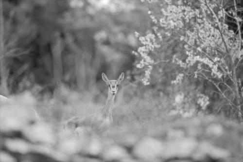 Gazelle-behind-rocks-springtime.jpg.824x0_q71
