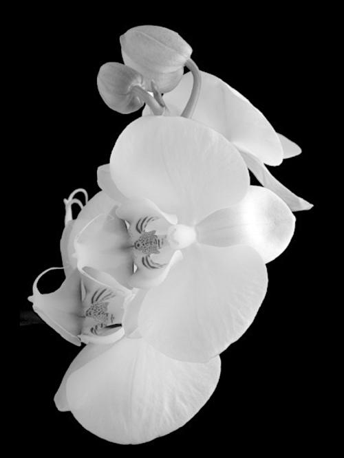 phalaenopsis_white2