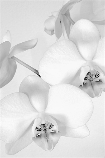 Serenity flows from white orchids