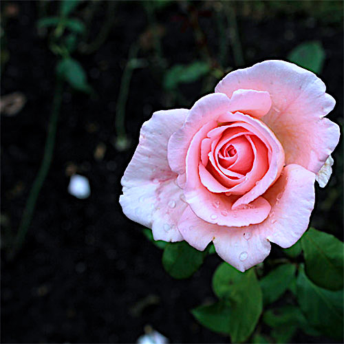 2-pink-single-rose-picture