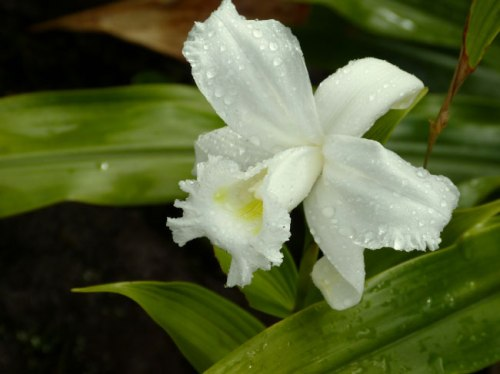 rainforest-white-orchid