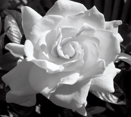 1413453052_gardenia-jasminoides