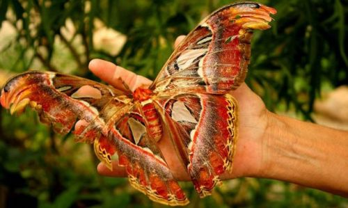 Atlas-Moth-Human-Hand.jpg.638x0_q80_crop-smart