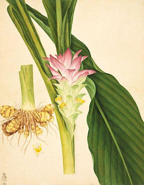 17ce57d55ee0d602aeafabf337de7c23--turmeric-botanical-prints