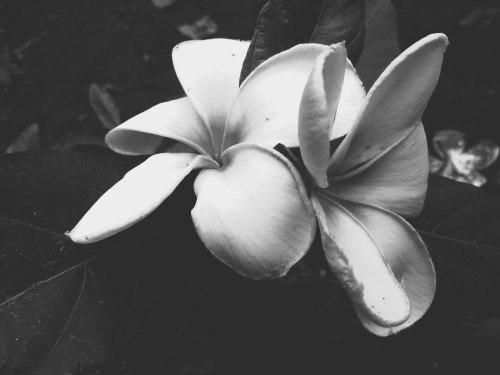 Jasmine_black_&_white