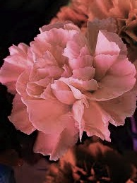 coral carnation
