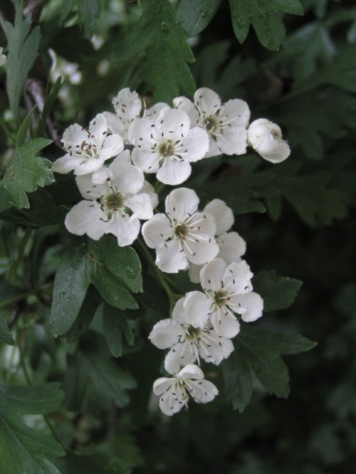 Common_hawthorn_flowers.jpg