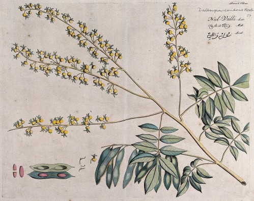 Rosewood_tree_(a_species_of_Dalbergia);_branch_with_flowers_Wellcome_V0042654.jpg