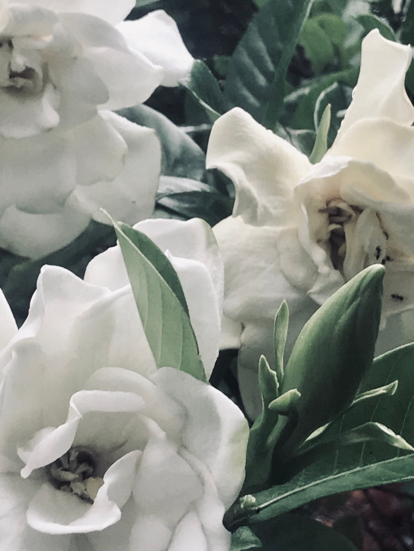 the nonchalance of gardenias
