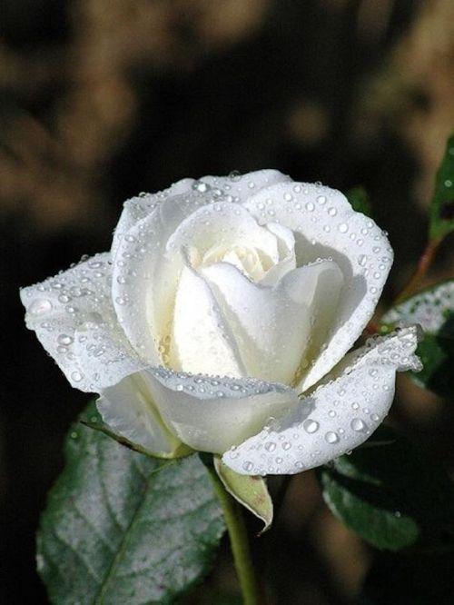 b59de0b013f80c8f6ac7f52368986e3f--pure-white-beautiful-roses.jpg