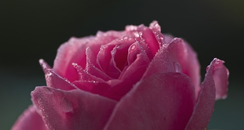 rose-513586_960_720.jpg