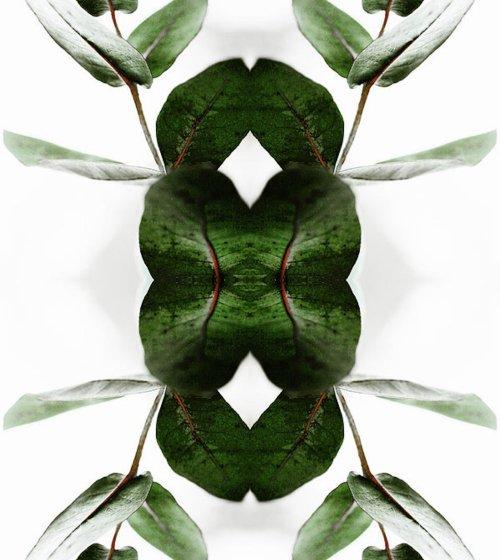 eucalyptus-leaves-silvia-otte.jpg