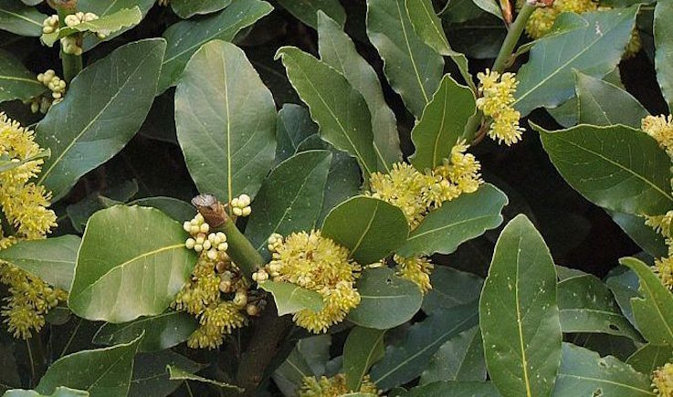 bay-laurel-herbal-medicine-img-e1473504554466.jpg