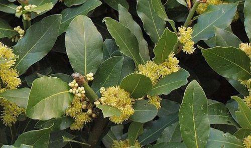 bay-laurel-herbal-medicine-img-e1473504554466.jpg