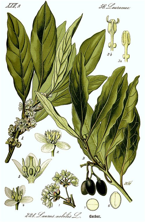 Illustration_Laurus_nobilis1.jpg