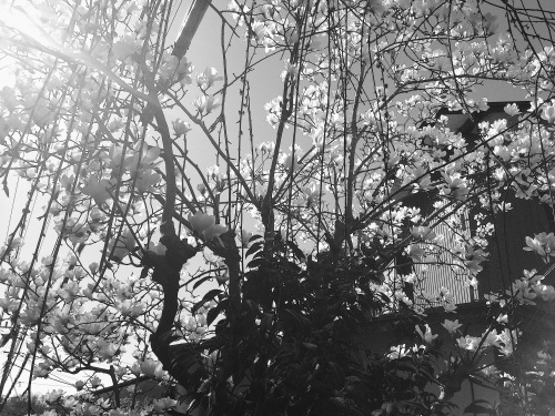 magnoliacascade5875