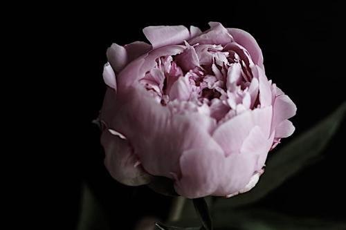 flower-petal-peony-nature.jpg