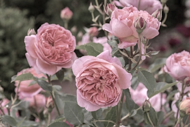David_Austin_English_Rose_Boscobel_HR14A80642Optimized